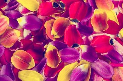 Naklejka Tło płatków tulipany