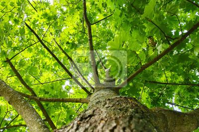 Tło zielone lato. widok z zielonego drzewa od dołu do góry. Spójrz pod drzewo. Pień, gałęzie i liście drzewa. Naturalna roślina