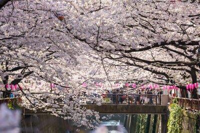 Naklejka Tokio, Japonia - 30 marca: niezidentyfikowany turystyczny biorąc obraz z wiśni kwiat podjęta 30 marca 2015 w obszarze Naga Meguro, Tokio. Obszar ten jest popularnym miejscem sakura w Tokio z pięknym k