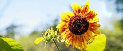 Naklejka tournesol jaune en pleine Floraison