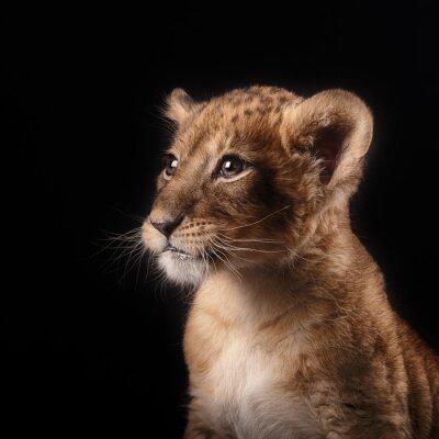 Naklejka Trochę lwiątko na czarnym tle