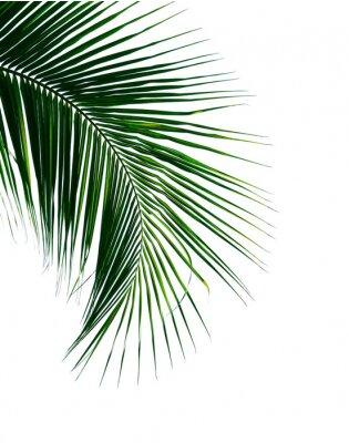 Naklejka tropikalny liść palmy kokosowej na białym tle