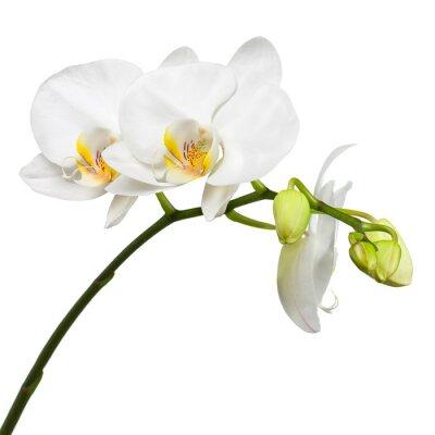 Naklejka Trzy dni stara biała orchidea na białym tle.