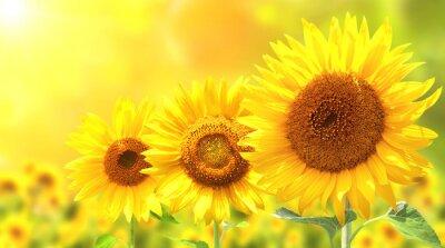 Naklejka Trzy jasne żółte słoneczniki