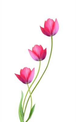 Naklejka Trzy tulipanu kwiatu odizolowywającego na białym tle