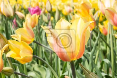Tulip Rumieniec Lady