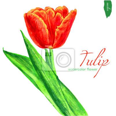 Naklejka tulipanów akwarela na białym tle