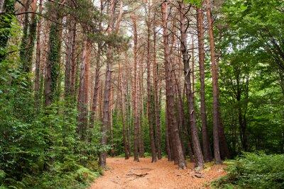 Naklejka Un camino pasa por un bosque de pinos