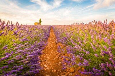 Naklejka Valensole, Provence, Francja. Lawendowe pole pełne fioletowe kwiaty