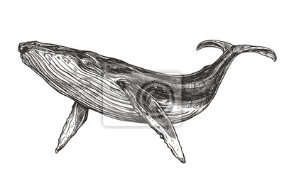 Naklejka Vector hand drawn illustration of  humpback whale. Sketch detailed engraving style