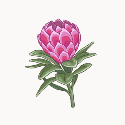 Vector illustration of protea flower