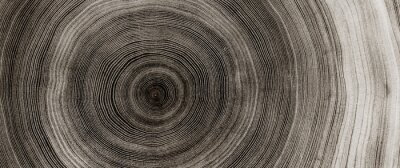 Naklejka Warm gray cut wood texture. Detailed black and white texture of a felled tree trunk or stump. Rough organic tree rings with close up of end grain.
