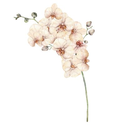 Watercolor bouquet with peach and creamy orchids. Hand painted tropical card with flowers, buds and branch isolated on white background. Floral illustration for design, print or background.