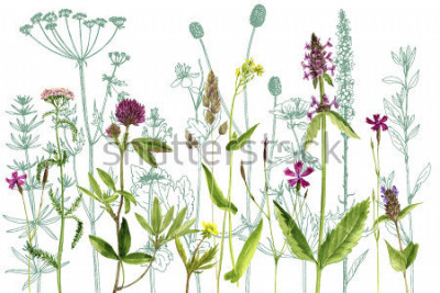 Naklejka watercolor drawing wild plants with flowers,buds and leaves, painted botanical illustration in vintage style, color floral template, hand drawn natural background