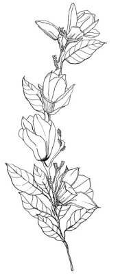 Watercolor floral bouquet with magnolias, leaves and buds. Hand painted line art card with flowers isolated on white background. Spring illustration for design, print, fabric or background.