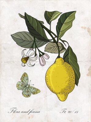 Naklejka Wektor rysunek odręczny cytryny branch.Botanical ilustracji.