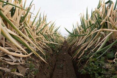 Naklejka Welsh onion field before harvest