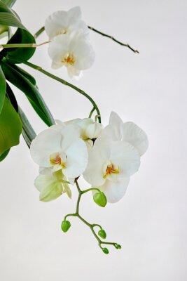 Naklejka White orchid