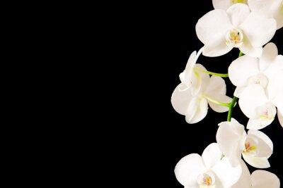 Naklejka White  Orchid Branch.