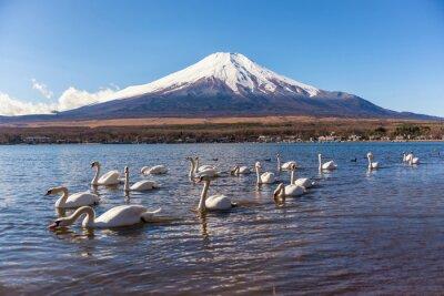 Naklejka White Swan swimimg w Yamanaka Lake, Lake 5 fuji