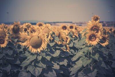 Naklejka Widok słoneczniki pola