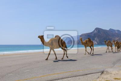 Naklejka Wielbłądy na drodze w Omanie.