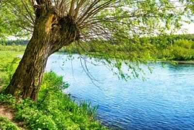 Naklejka Wielkie stare drzewo na brzegu rzeki