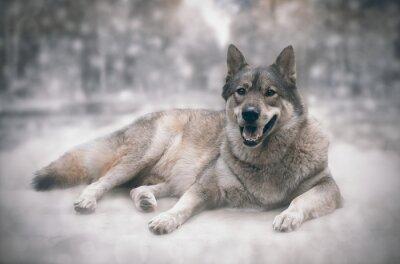 Naklejka Wilk / Szczęśliwy wilka na tle śniegu.
