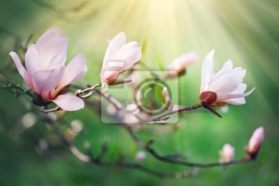 Wiosna kwiat magnolii tle. Piękna scena przyrody z kwitnącą magnolią