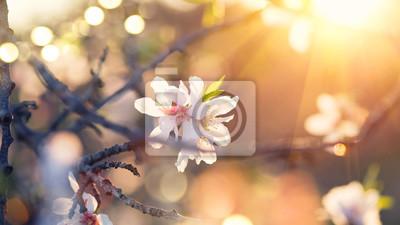 Wiosna tle kwiatów. Piękna scena przyrody z kwitnącej drzewa migdałowca