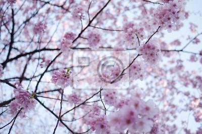 wiśni, różowy sakura kwitnące na jasnym tle nieba, Japonia