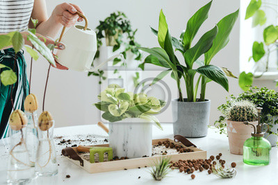 Naklejka Woman gardeners watering plant in marble ceramic pots on the white wooden table. Concept of home garden. Spring time. Stylish interior with a lot of plants. Taking care of home plants. Template.