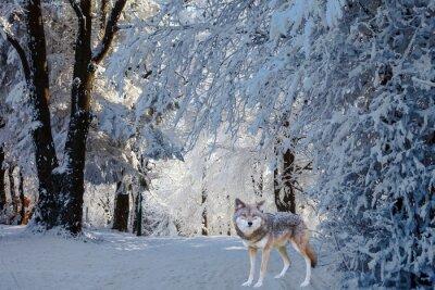 Naklejka Wspaniały biały wilk polarny przyszedł do polowania