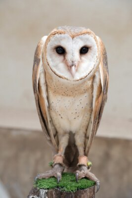 Naklejka Wspólne Barn Owl (Tyto albahead)