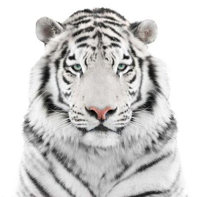 Naklejka Wyizolowanych biały tygrys