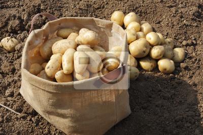 ジャガイモ 収穫