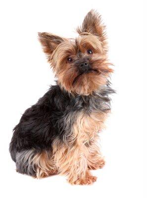 Naklejka Yorkshire Terrier