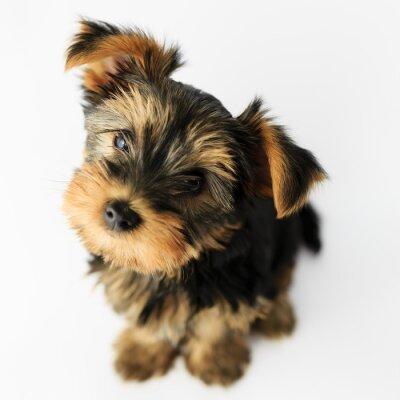 Naklejka Yorkshire terrier - Portret cute puppy