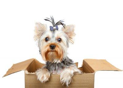 Naklejka Yorkshire Terrier w pudełka