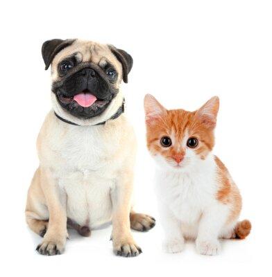 Naklejka Zabawna Mops pies i mały czerwony kitten samodzielnie na białym tle