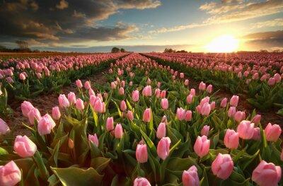 Naklejka Zachód słońca nad różowym polu tulipanów