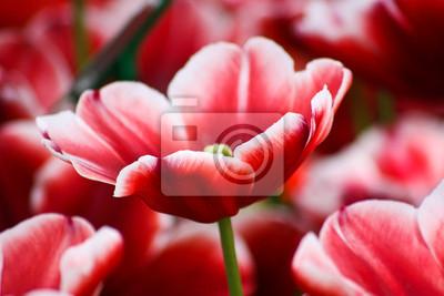 Zarte Rote Tulpe