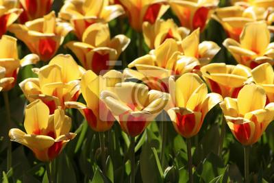 Zarte Tulpen