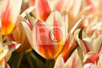 Zarte Tulpenblüten