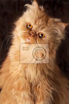 zaskoczony kot perski