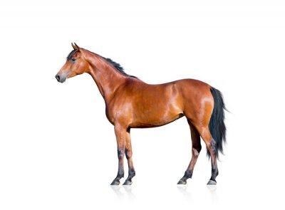 Naklejka Zatoka koń samodzielnie na białym tle