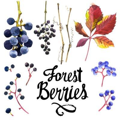 Naklejka Zestaw akwareli dzikich winogron. Kolekcja herbarium ogrodzie.