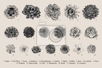 Zestaw Dahlias. Ilustracji wektorowych wektorowych rocznika. Elementy projektu. Czarny i biały