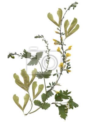 Zielnik suchą prasowanego łąki letnim zielony roślin na białym tle.