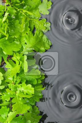 Zielone liście dębu w wodzie w deszczu